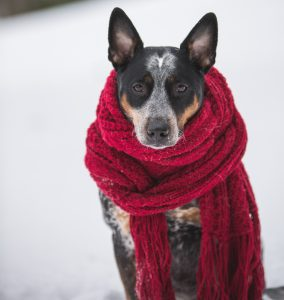 dog in a red scarf