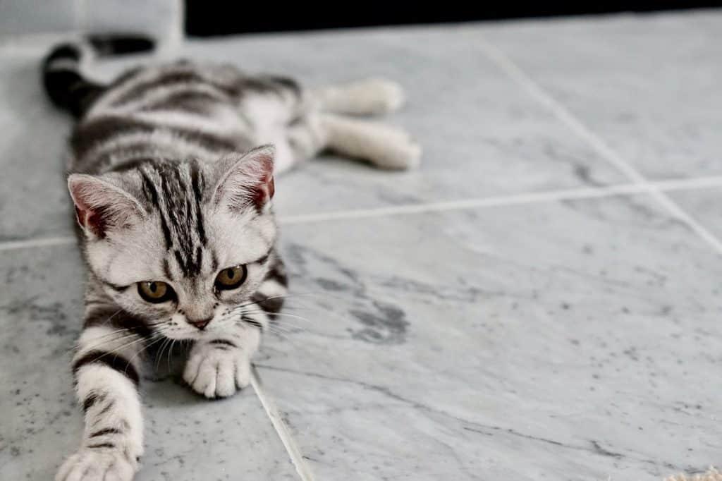 gray kitten laying on gray tile floor